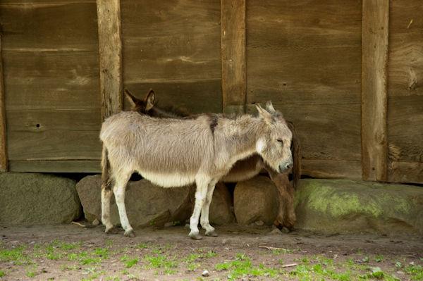zen donkey